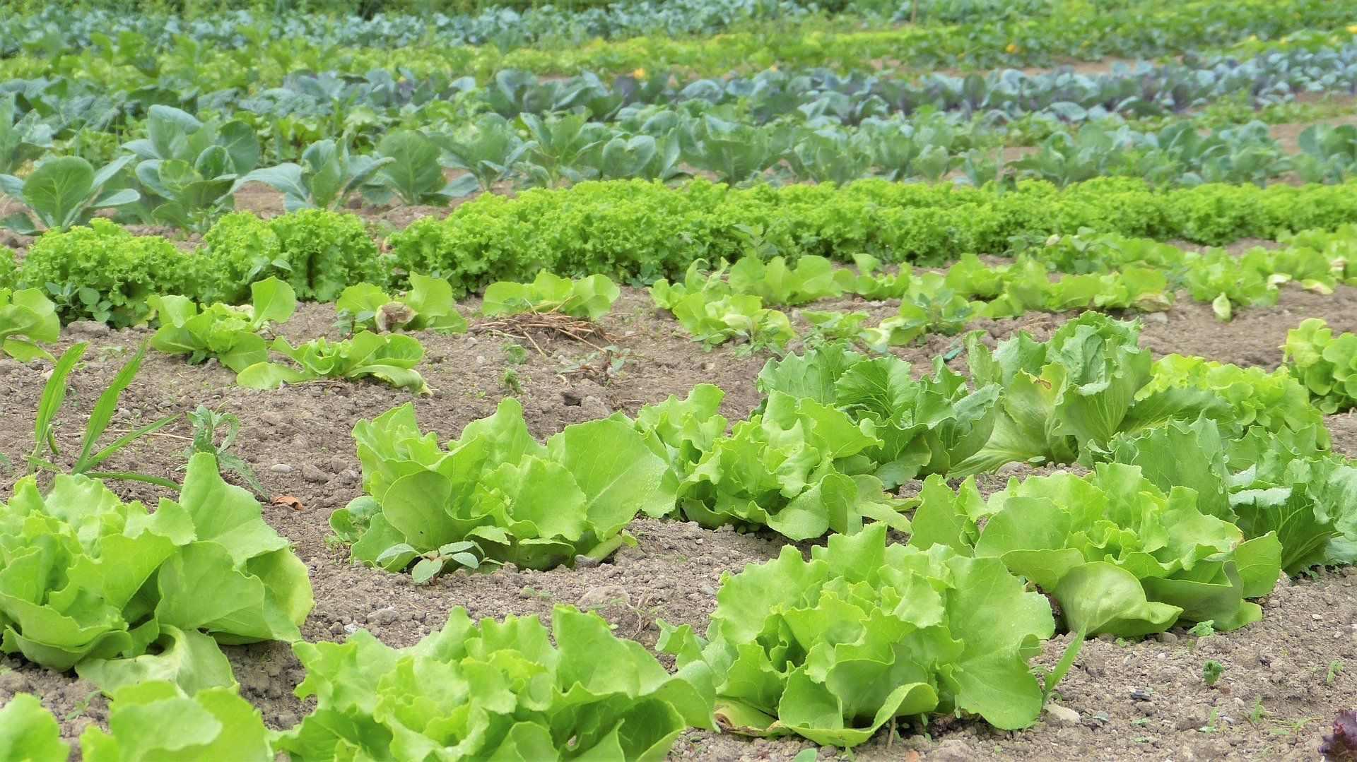 Large field with lettuce growing.